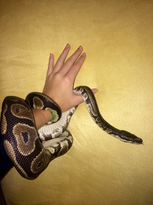 Juju 7 Years Male Ball Python