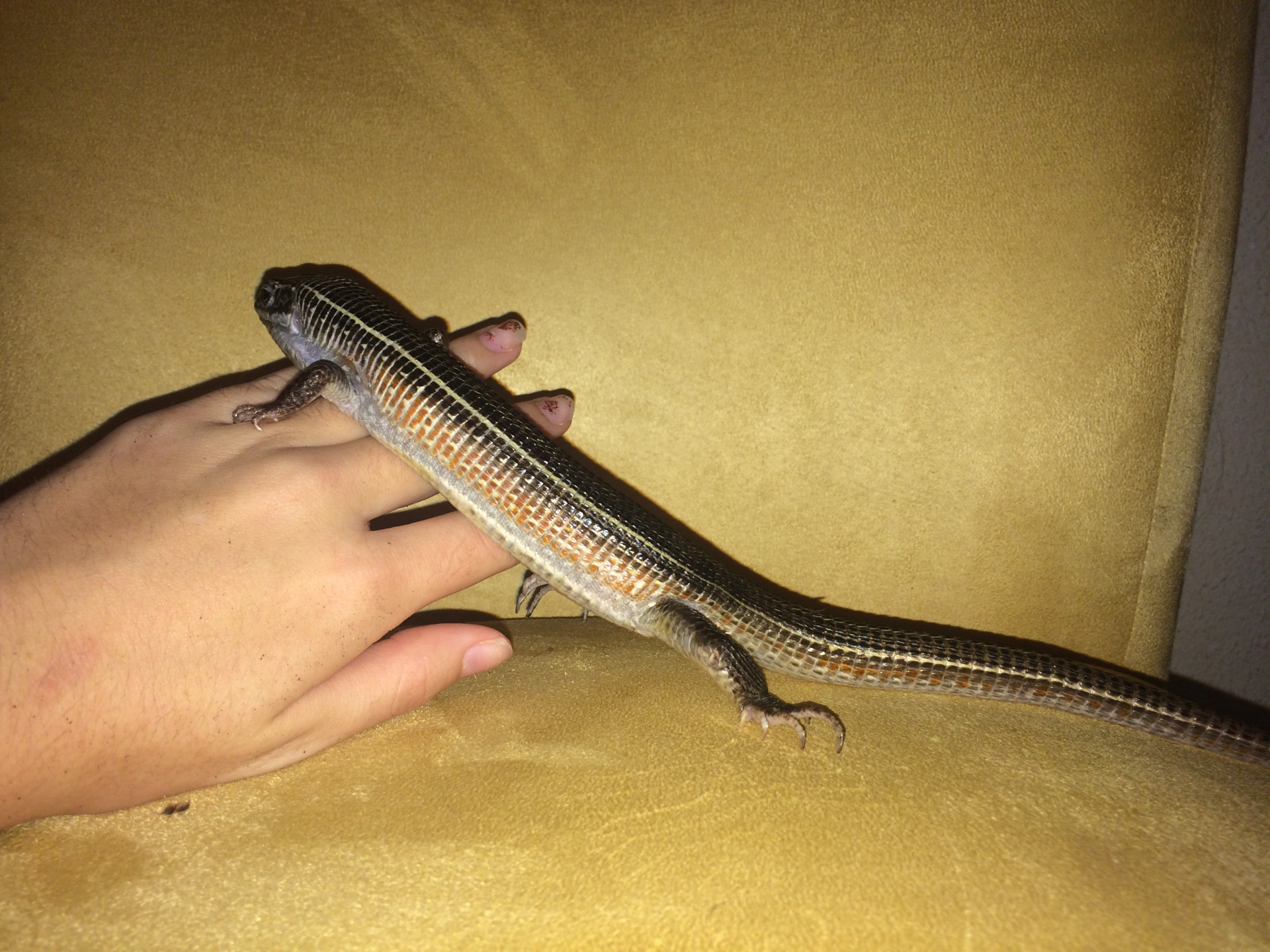 2 Years Yellow-Throated Plated Lizard (No Name)