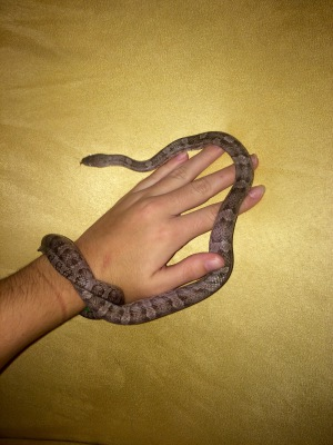 Archimedes 8 months Male Charcoal Corn Snake