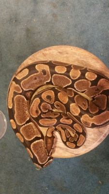 Charlie Adult Male Ball Python