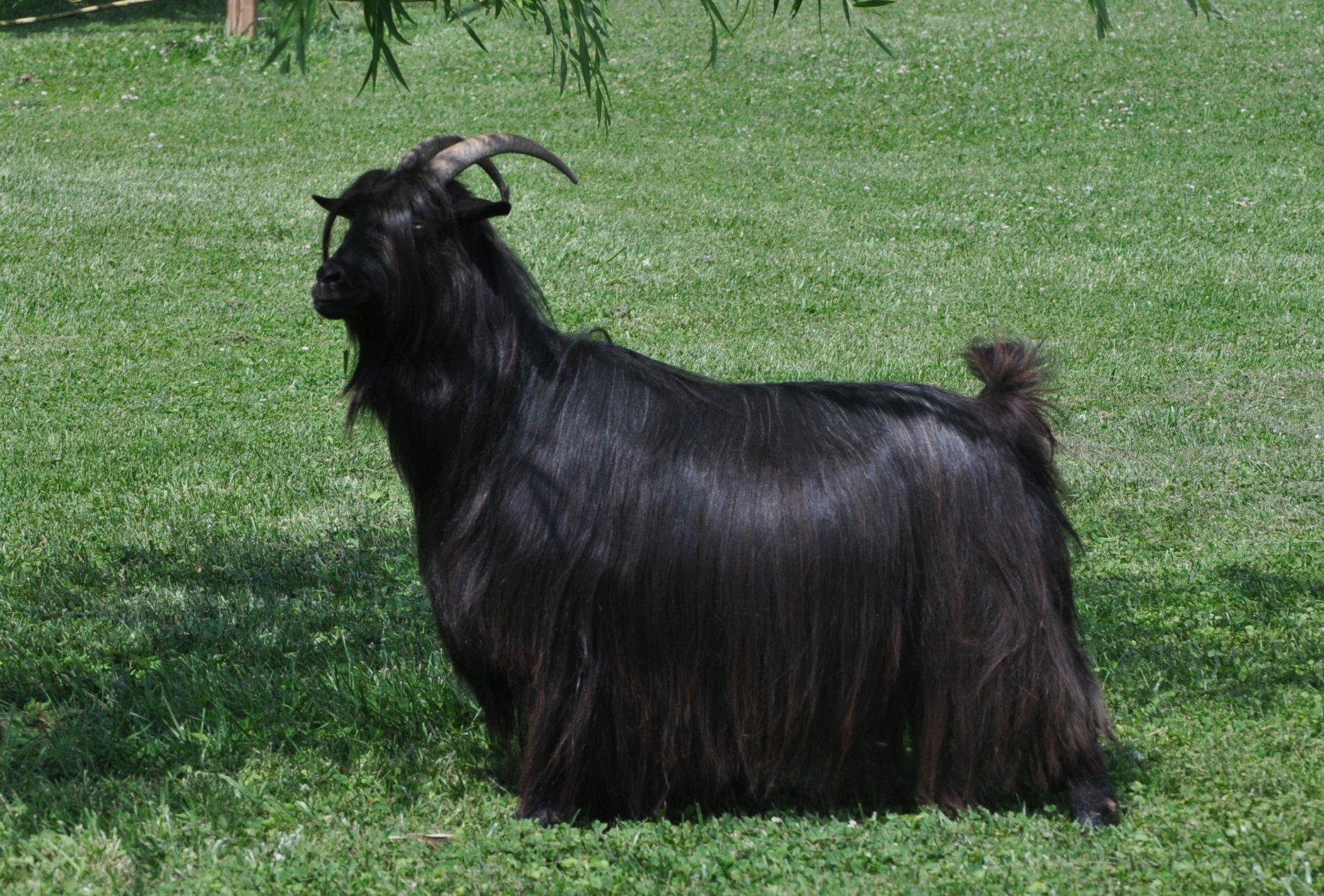 Miniature Silky Fainting Goats