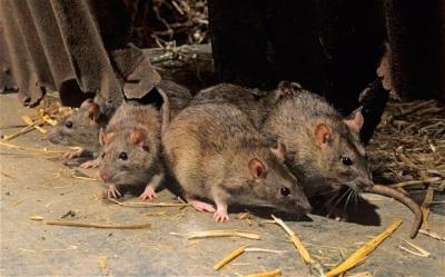 Ridding Northwest Arkansas of Rats
