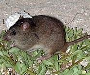 Rising seas erase Australian rodent