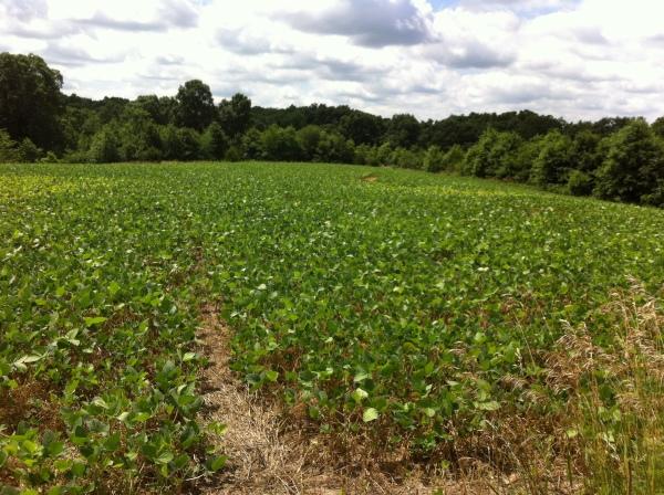Early Season Bean Plots