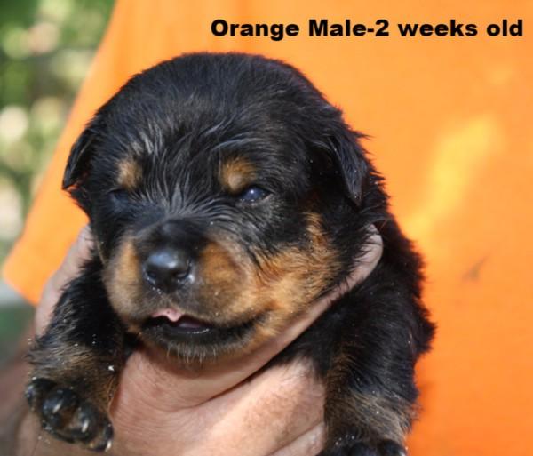Orange Male