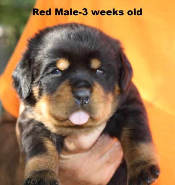 Red Male