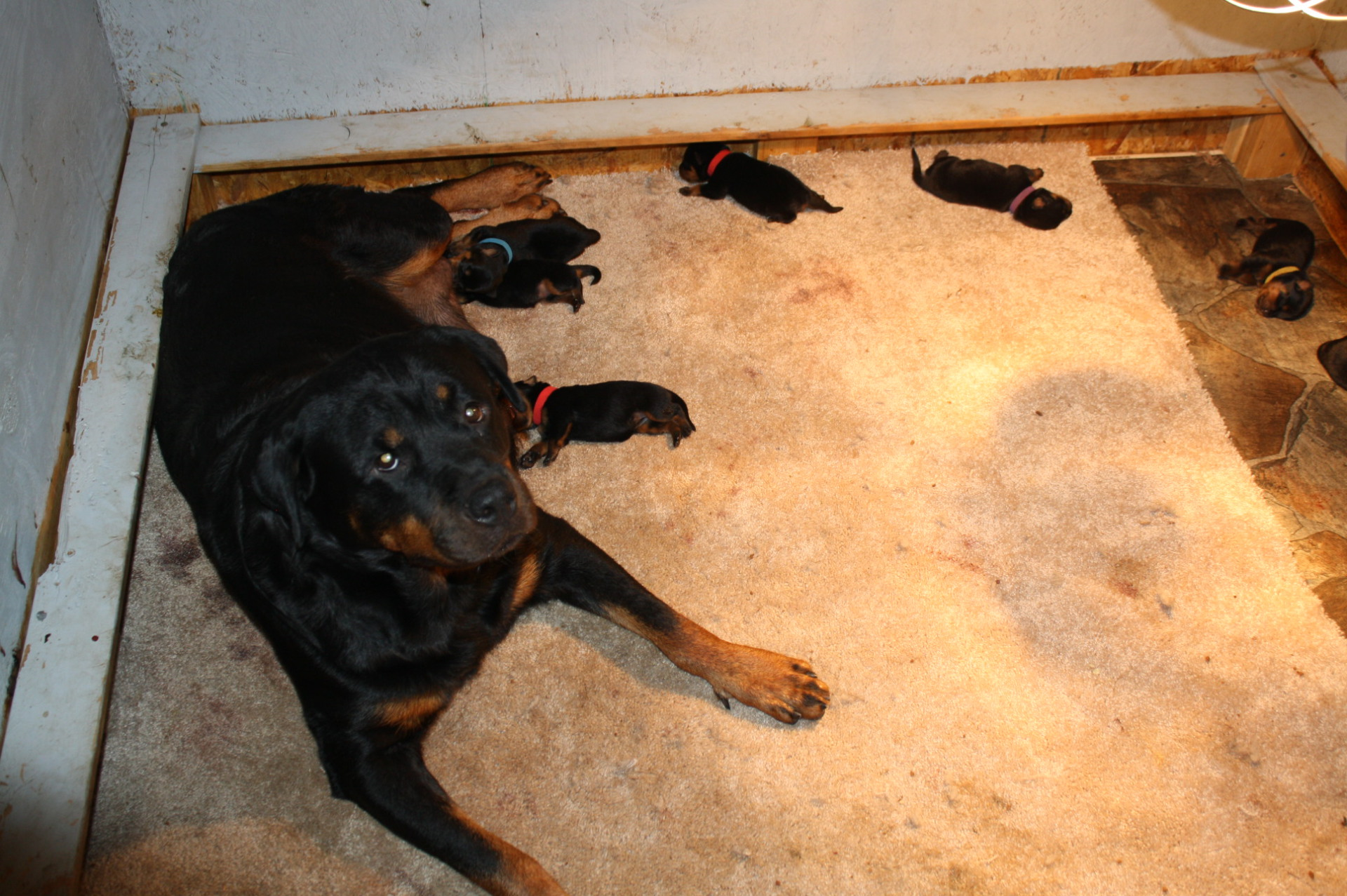 Jamie-lee and her pups at 3 days old