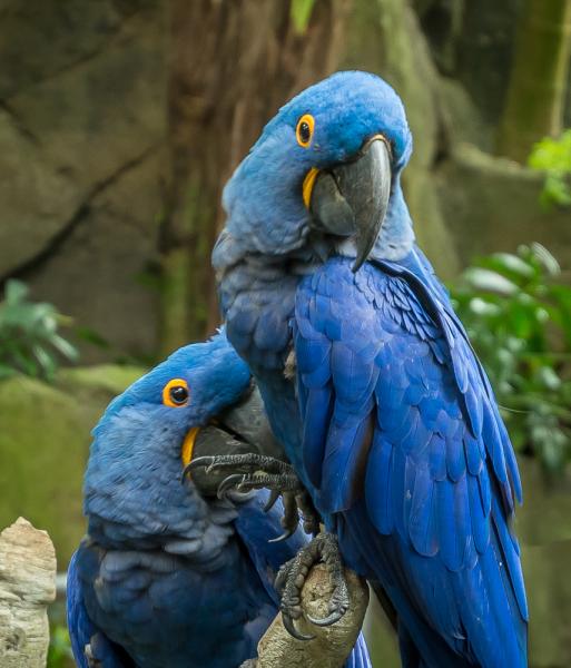 """""""BLUE MACAW PAIR"""" - Mary Hulett"""