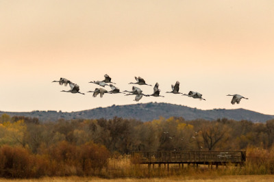 Color - Sandhill Cranes - Jorgen Hog