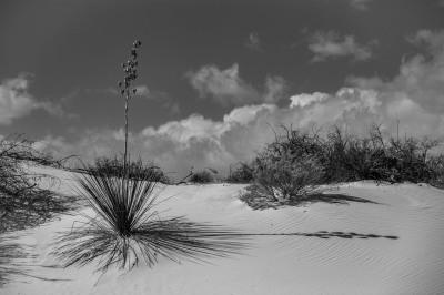 B&W - White Sands Yucca - Mary Hulett