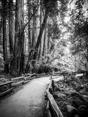 B&W - Muir Woods - Sandy Gilbert