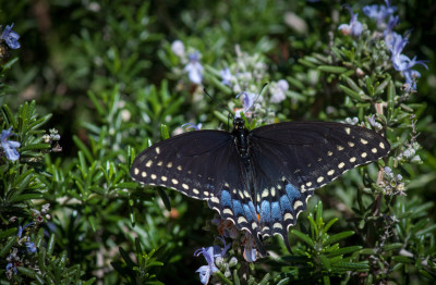 Color - Black Swallowtail - Dale Wood