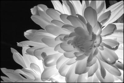 B&W - White Petals - Linda Knox