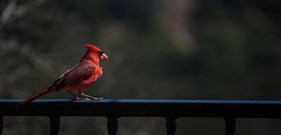 Color - Cardinal Portrait - Dale Wood
