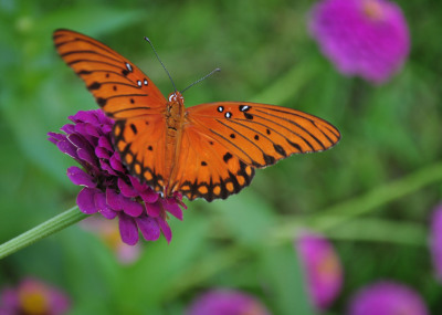 Color - Butterfly and Zinnias - Sandy Gilbert