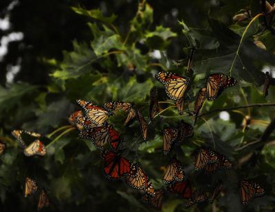 Color - Monarch Migration - Mike Smeltzer
