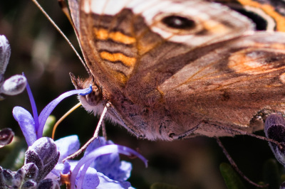 Color - Common Buckeye - Eric Olsen