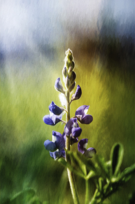 Color - Lone Bluebonnet - Linda Knox