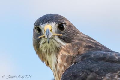 Color - Hawk Eyes - Jørgen Høg