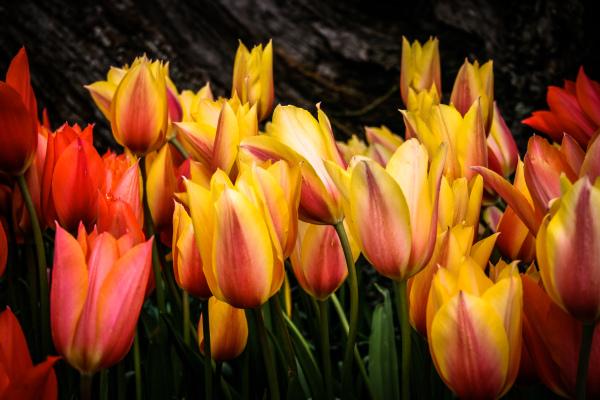 Assignment - Tulips - David Goodge