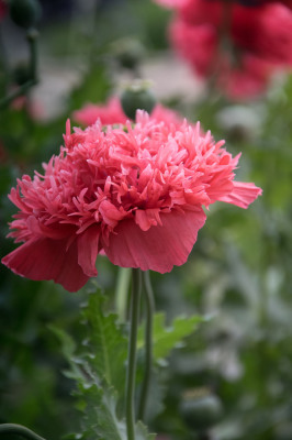 Color - Ruffled Poppy - Sandy Gilbert