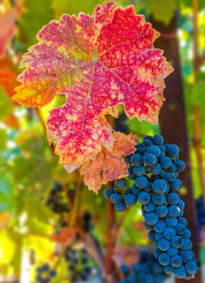 """FALL VINEYARD"" Dennis Deeny"