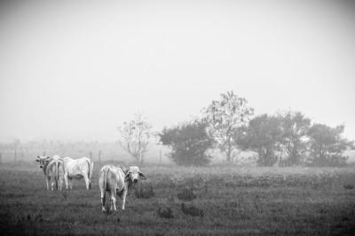 """Foggy Cows"" - Allen Skiles"
