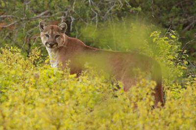 """""""Cougar"""" - Steven Touchstone"""