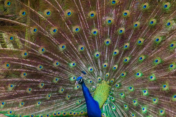 """Perky Peacock"" - Andrea Garza"