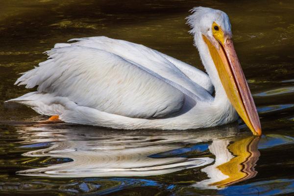 """""""Pelican"""" - Dennis Deeny"""