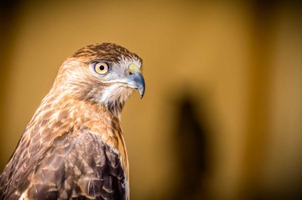 """""""Hawk-Eye"""" - Allen Skiles"""
