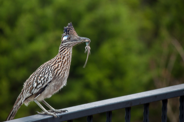 """""""Road Runner with Lunch"""" - Dale Wood"""