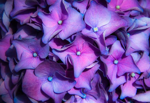 """Hydrangea Macrophylla"" - Cathy Goodge"