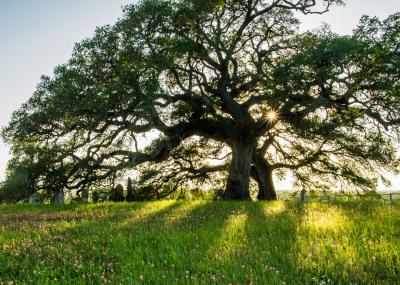 """""""Ancient Oak"""" - Sandy Gilbert"""