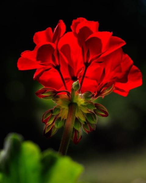 """Red Flower"" - Dennis Deeny"