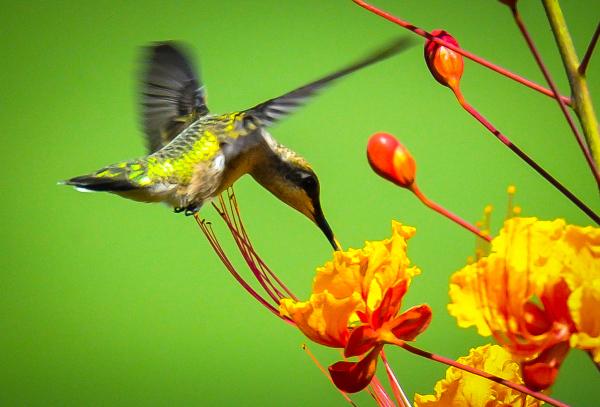 """Bird of Barbados"" - Bruce Williams"