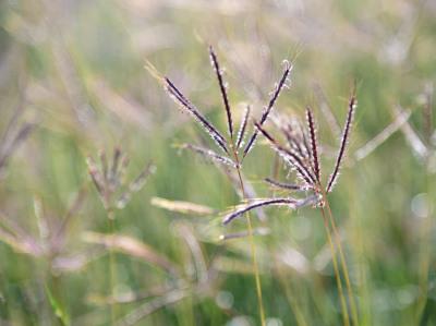 """Purple Grasses in the Wind"" - Sandy Gilbert"