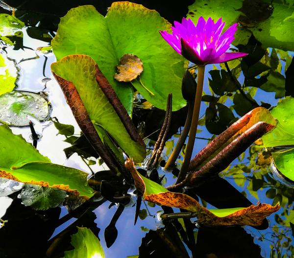 """Koi Pond"" - Bruce Williams"