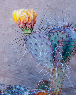 Cactus Blossom by Sandy Gilbert