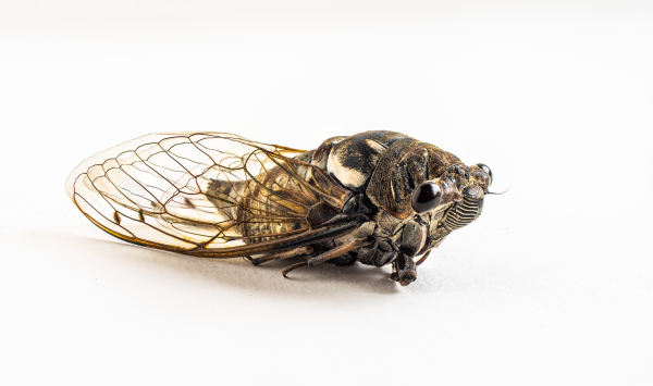 Cicada by Ralph Nordenhold