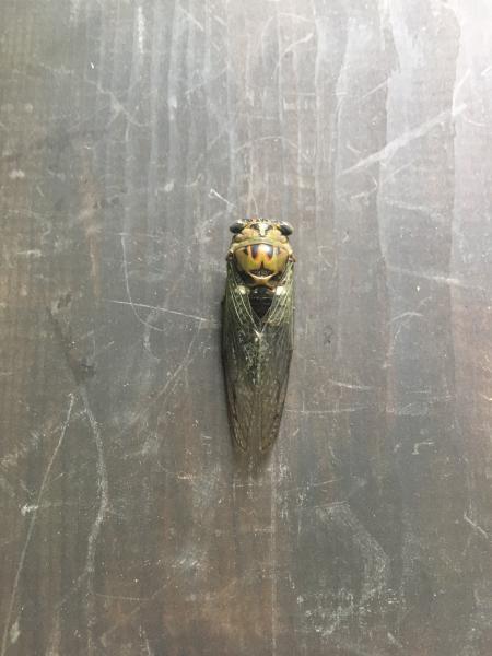 Cicada by Katie McLean