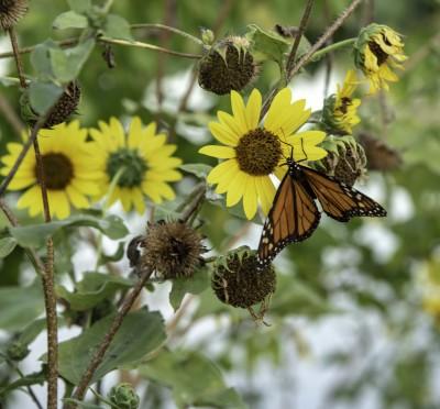 Butterfly by Homer Gilbert