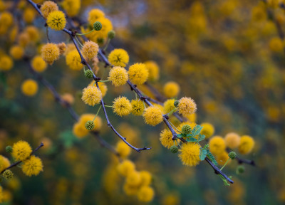 Huisache Blossoms by Sandy Gilbert