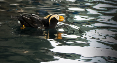 Tufted Puffin by Sharon Deeny
