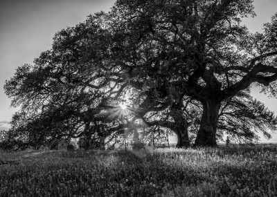 Guardian Oak by Sandy Gilbert