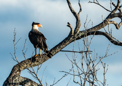 Caracara by Sandy Gilbert