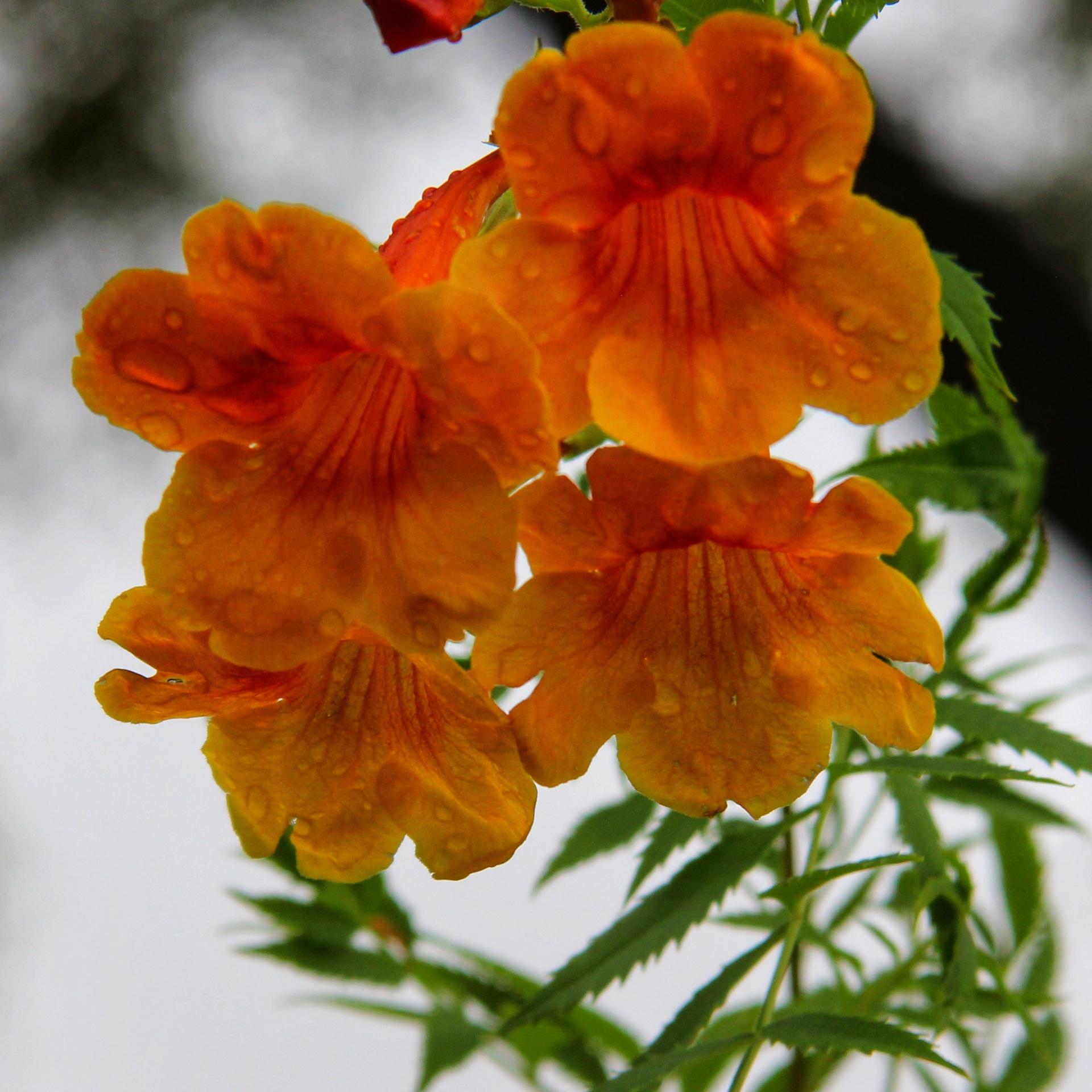 Golden Raindrops by Melissa Onks