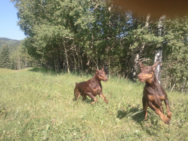 dBella Dobermans playing