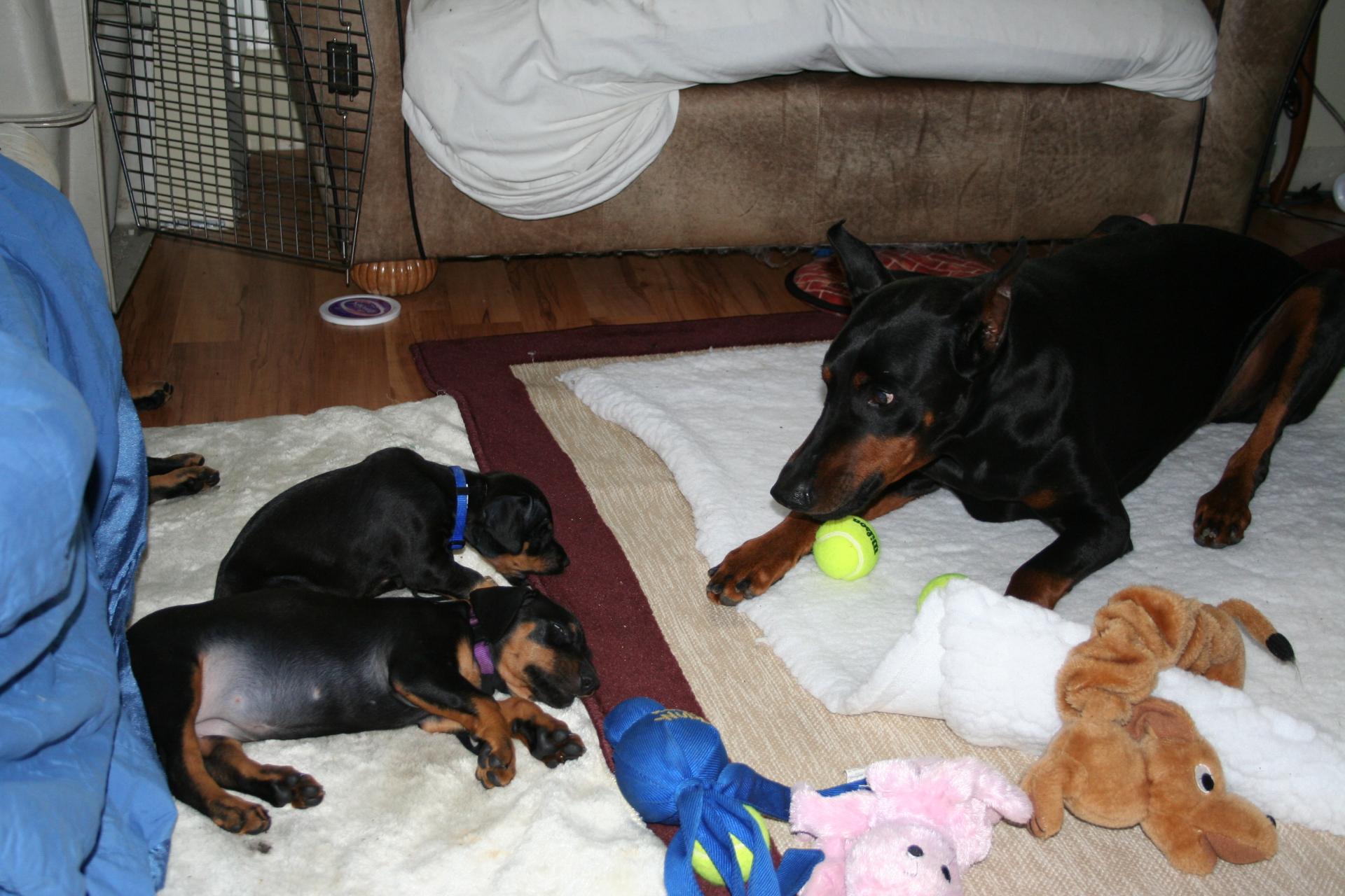 dBella Dobermans Puppies