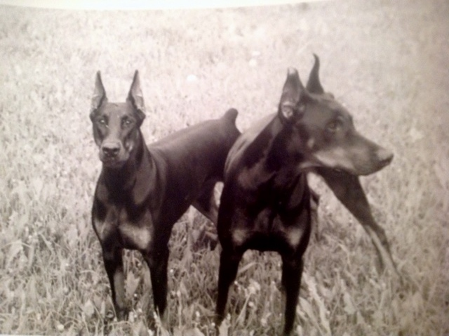 Diabla and Hercules dBella Dobermans